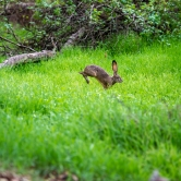 Rabit on the run