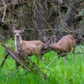Deer at American River Parkway